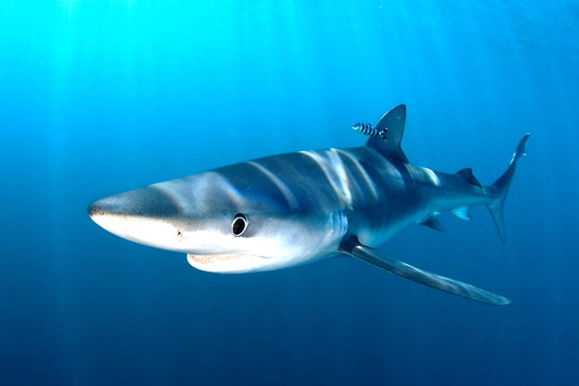 1 Blue Shark Jim Abernethy