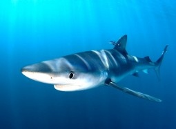 Samoa and Sri Lanka step up to protect the Blue Shark at global migratory species conference