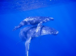 Tonga to host major international whale conservation conference