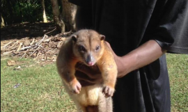 Cuscus found in barana park - now safely released back into the wild