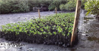 Mangrove seedlings in Taveuni